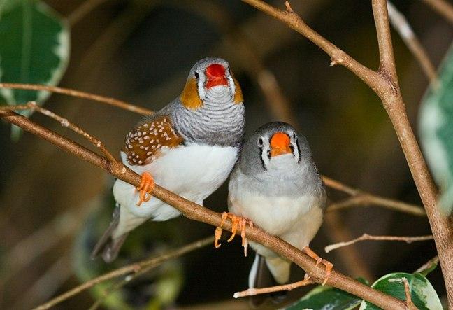 800px-taeniopygia_guttata_-bird_kingdom2c_niagara_falls2c_ontario2c_canada_-pair-8a
