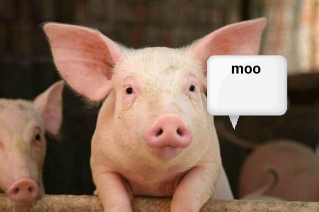 moo pig